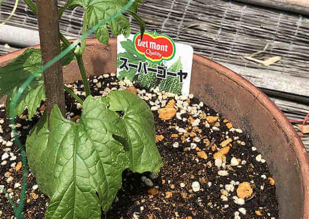 デルモンテ スーパーゴーヤ ゴーヤ栽培、プランターで育て方