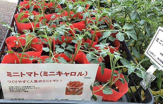 ミニトマト栽培、プランターで育て方