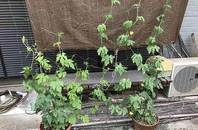 ゴーヤ,摘心,グリーンカーテン,栽培