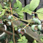 ブルーベリーの実がつき収穫